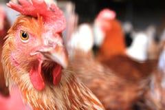从农场的一只母鸡在Rollingen,卢森堡 库存照片