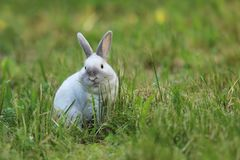 从农场的白色兔子绿草的 库存图片