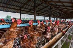 从农场的鸡交配动物者 免版税库存图片
