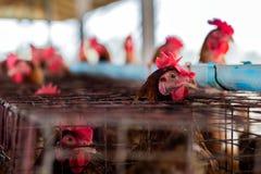 从农场的鸡品种 库存图片