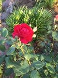 从农村东部得克萨斯的一朵红色玫瑰 免版税库存照片