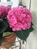 从农村东部得克萨斯的桃红色八仙花属 免版税库存照片