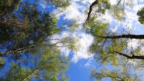 从冠上的底部的森林视图 股票视频