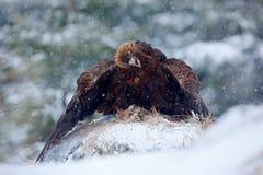 从冬天自然的野生生物场面 在冬天期间,在雪的鹫用杀害野兔,雪在森林里 有金黄的斯诺伊森林 免版税库存图片