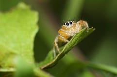 从南非的橙色跳跃的蜘蛛 库存照片