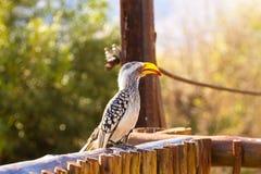 从南非的Tockus leucomelas, Pilanesberg国家公园 免版税库存照片