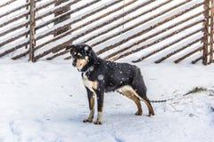 从卡累利阿的雪狗 库存照片