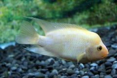 从印度尼西亚的金mujair热带鱼 免版税库存照片