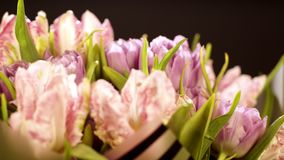 从卷曲桃红色郁金香的美丽的花束在黑背景 花关闭 宏指令 宏观射击 浅粉红色 影视素材