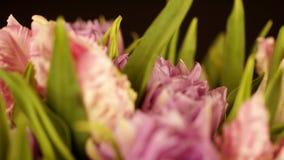 从卷曲桃红色郁金香的美丽的花束在黑背景 花关闭 宏指令 浅粉红色的郁金香花 影视素材