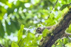 从厄瓜多尔的密林的松鼠猴子 库存照片