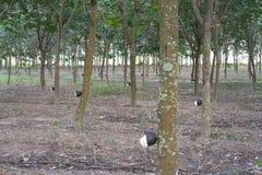 从受伤的橡胶树收集的乳汁 免版税库存图片
