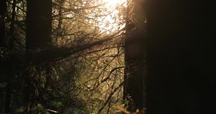从右到左射击秋天树的照相机移动在森林在晚上 股票视频