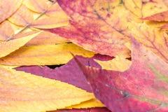 从叶子的五颜六色的秋天纹理 免版税库存照片