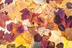 从各种各样的五颜六色的叶子的秋天背景 库存图片