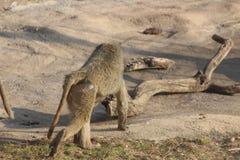 从各种各样的角度的狒狒照片 免版税库存照片