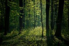 从后面点燃的绿色森林 库存照片