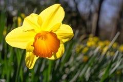 从后面点燃的黄色花由太阳 库存图片