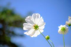 从后面采取的波斯菊花由天空和一只瓢虫在花和一只瓢虫背景在花 图库摄影