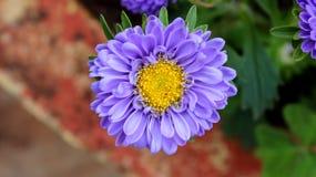 从向日葵家庭的紫罗兰色颜色花  库存照片