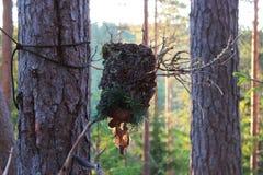 从吠声棍子和杉木锥体的一尊森林神象做哄骗精神 异端 免版税库存照片