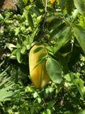 从哥伦比亚的Carambolo热带水果 库存照片