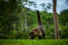 从哥斯达黎加的雨林的动物 白被引导的浣熊,美洲浣熊narica 哺乳动物在自然栖所 免版税库存图片
