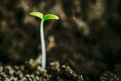 从土壤的生长绿色新芽 春天农业季节 免版税库存照片