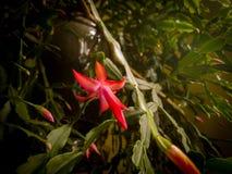 从圣诞节仙人掌的一朵花 图库摄影