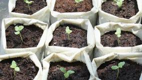 从在地面上的种子增长在一塑料袋和水中从阵雨落的树瓜的幼木  股票录像