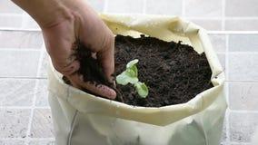 从在地面上的种子增长在塑料袋并且精选土壤瓜的幼木增加到树 股票视频