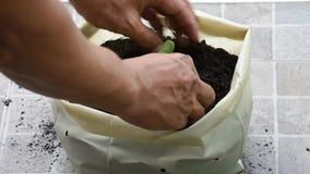 从在地面上的种子增长在塑料袋并且精选土壤瓜的幼木增加到树 影视素材
