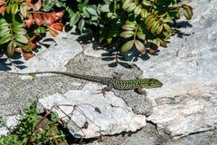 从在岩石的一只蜥蜴关闭  免版税库存照片