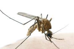 从在白色背景隔绝的人的蚊子吮的血液 库存照片