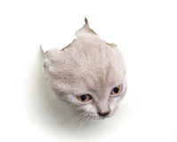 从在纸张的猫漏洞出来 免版税库存图片