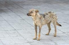 从地衣恢复的街道狗 库存图片