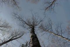 从地面的看法到天空通过树枝 天空蔚蓝和白色云彩在上面 木结构 库存图片