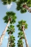 从地面观看查寻到蓝天和绿色棕榈树 免版税库存图片
