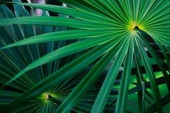 从墨西哥的热带叶子 库存图片