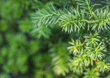 从多刺的绿色迷迭香植物关闭的被弄脏的背景  云杉的枝杈背景 免版税图库摄影