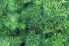 从多刺的绿色迷迭香植物关闭的被弄脏的背景  云杉的枝杈背景 库存照片