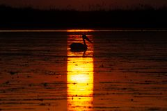 从多瑙河三角洲的鹈鹕日出的 免版税库存照片