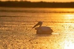 从多瑙河三角洲的鹈鹕日出的 库存图片