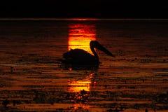 从多瑙河三角洲的鹈鹕日出的 库存照片