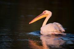 从多瑙河三角洲的鹈鹕日出的 免版税图库摄影