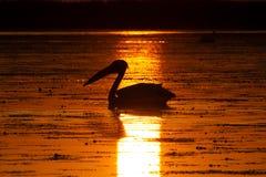从多瑙河三角洲的鹈鹕日出的 图库摄影