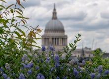 从大炮桥梁屋顶平台,伦敦英国的看法 在前景的蓝色ceanothus花 圣保罗的软的焦点圆顶在距离的 图库摄影