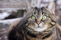 从大猫` s的好奇神色注视 免版税库存照片