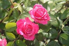从天堂庭院的桃红色玫瑰 库存照片