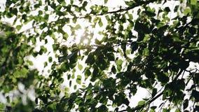 从太阳的光美妙地打破桦树的分支 股票录像